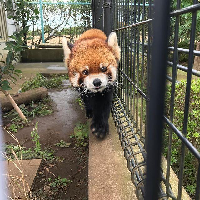 [Photo] なになに? #レッサーパンダ